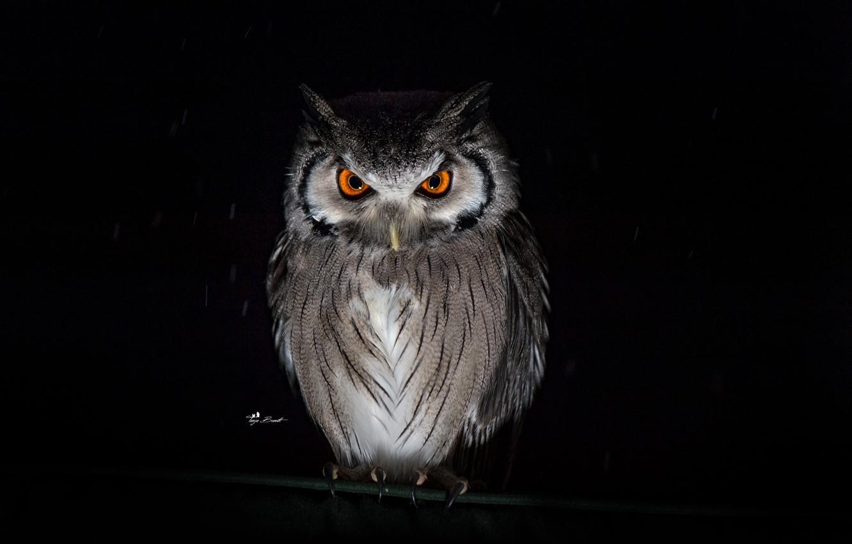 Wallpaper look, rain, owl, black background images for ...