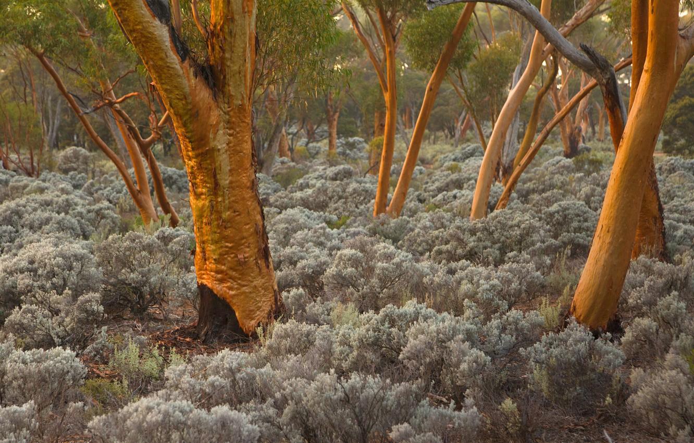 Photo wallpaper trees, Australia, eucalyptus