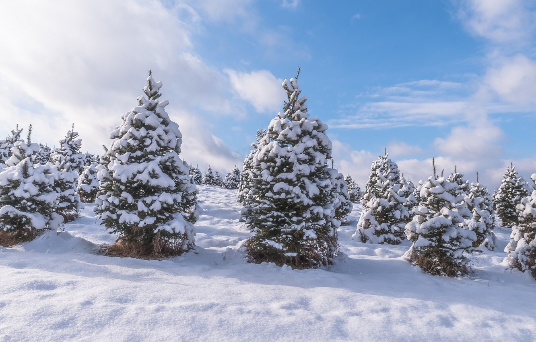 Photo wallpaper winter, forest, snow, trees, nature, tree, natural phenomenon