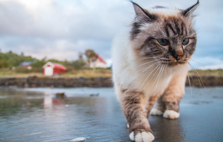 Photo wallpaper cat, cat, mustache, gait