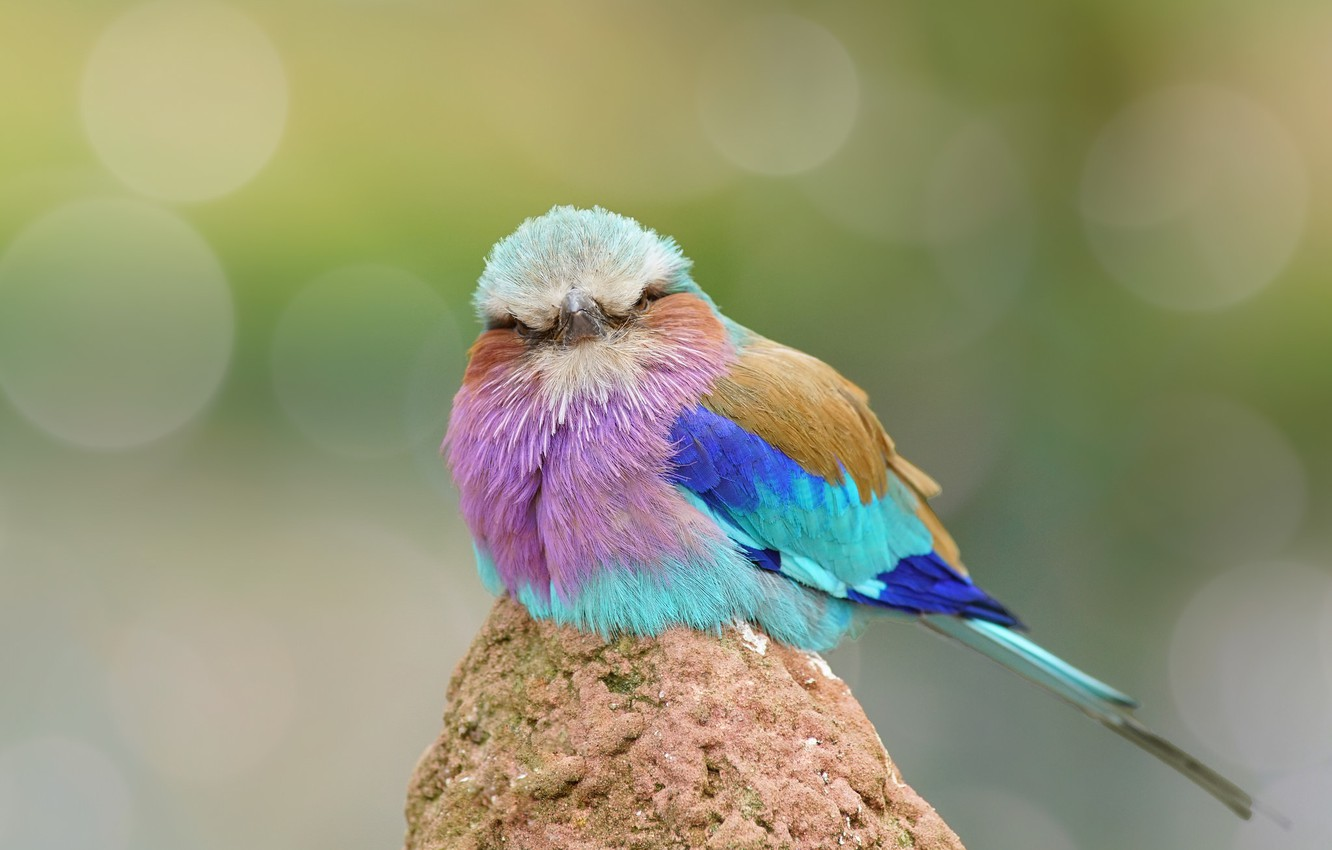 Photo wallpaper bird, feathers, color, funny, Roller