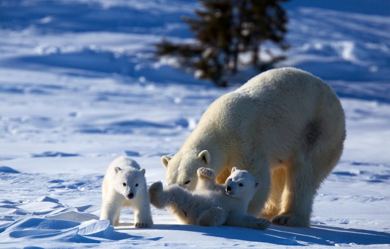 Wallpaper Play Bear Animals Nature Winter Snow Puppies Mother