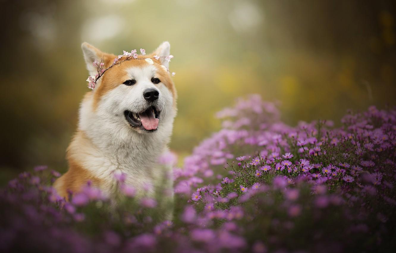 Photo wallpaper face, flowers, portrait, dog, wreath, chrysanthemum, bokeh, Akita inu