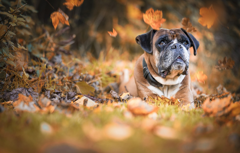 Photo wallpaper autumn, leaves, dog, dog, bokeh, Boxer