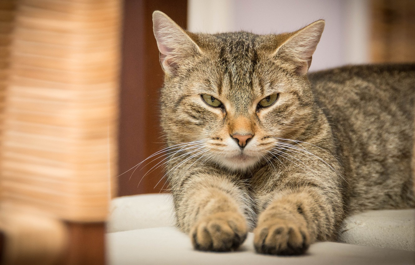Photo wallpaper cat, cat, look, grey, paws, lies, grey, unhappy, striped, harsh