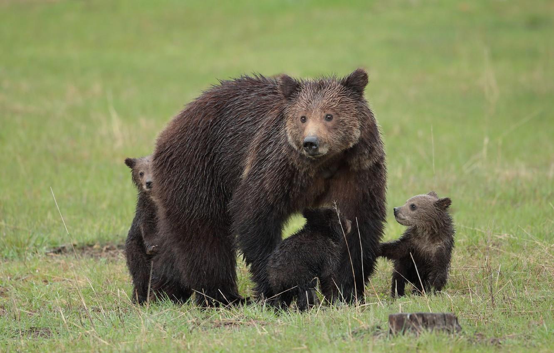 Photo wallpaper animal, bears, large, skin, bears, bear