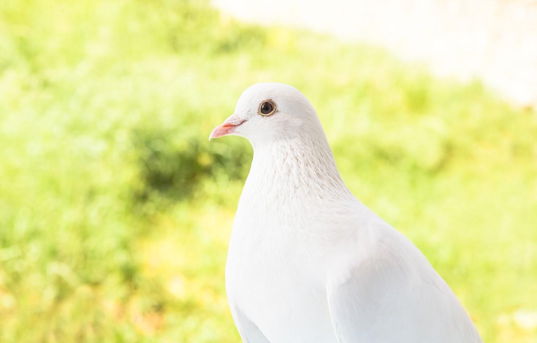 Photo wallpaper nature, bird, dove