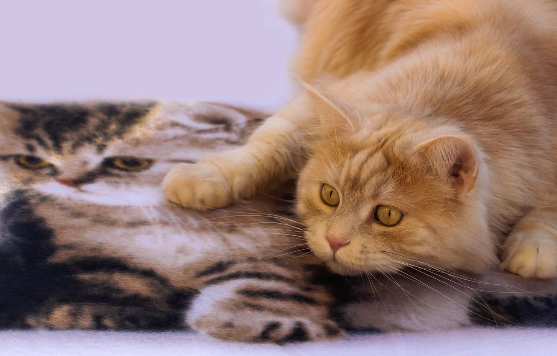 Photo wallpaper cat, look, Mat, red cat