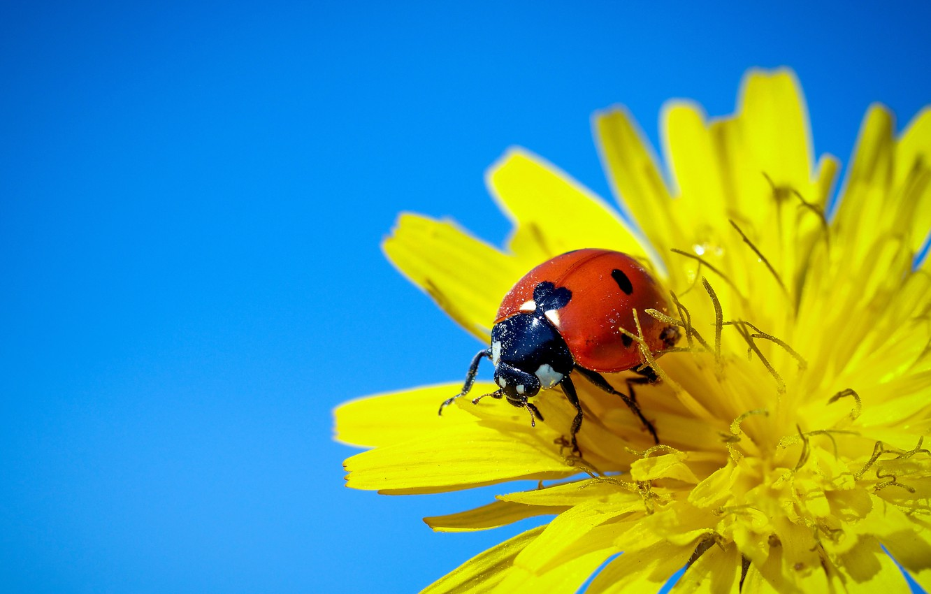Photo wallpaper flower, macro, background, ladybug, beetle, insect, sow Thistle