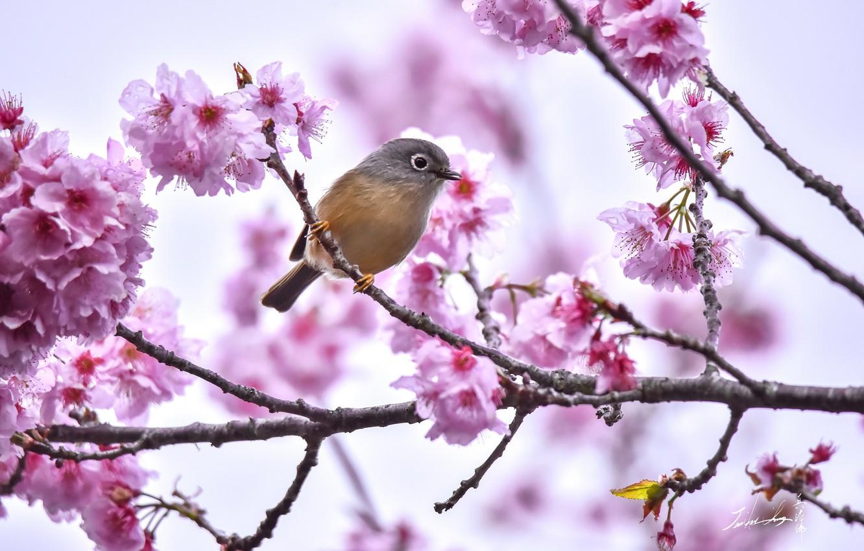 Photo wallpaper branch, Sakura, bird