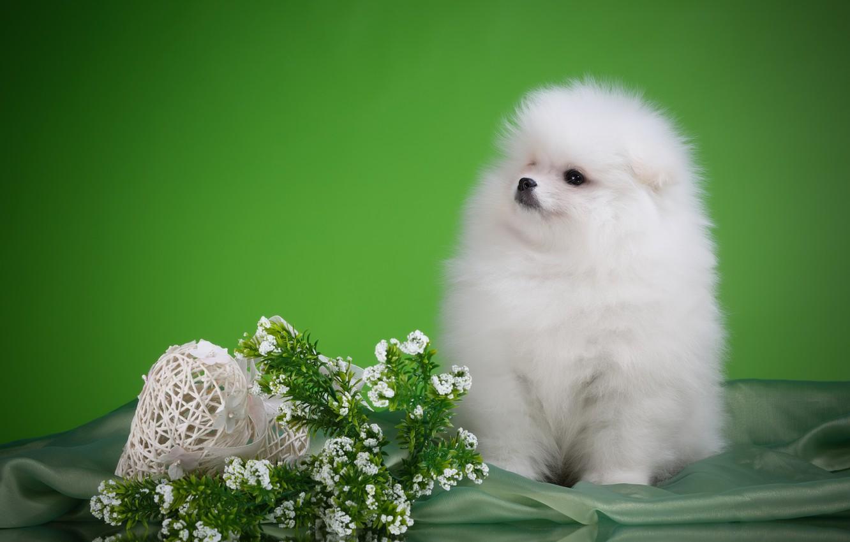 Photo wallpaper white, flowers, puppy, breed, Spitz
