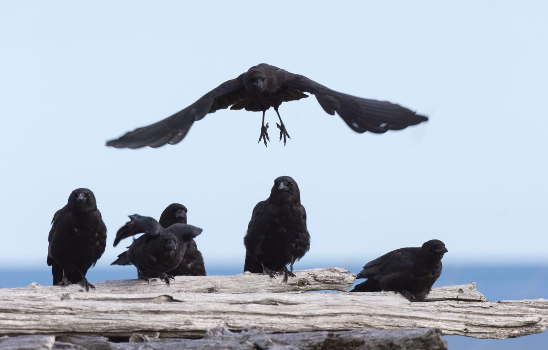 Photo wallpaper flight, bird, wings, pack, Raven