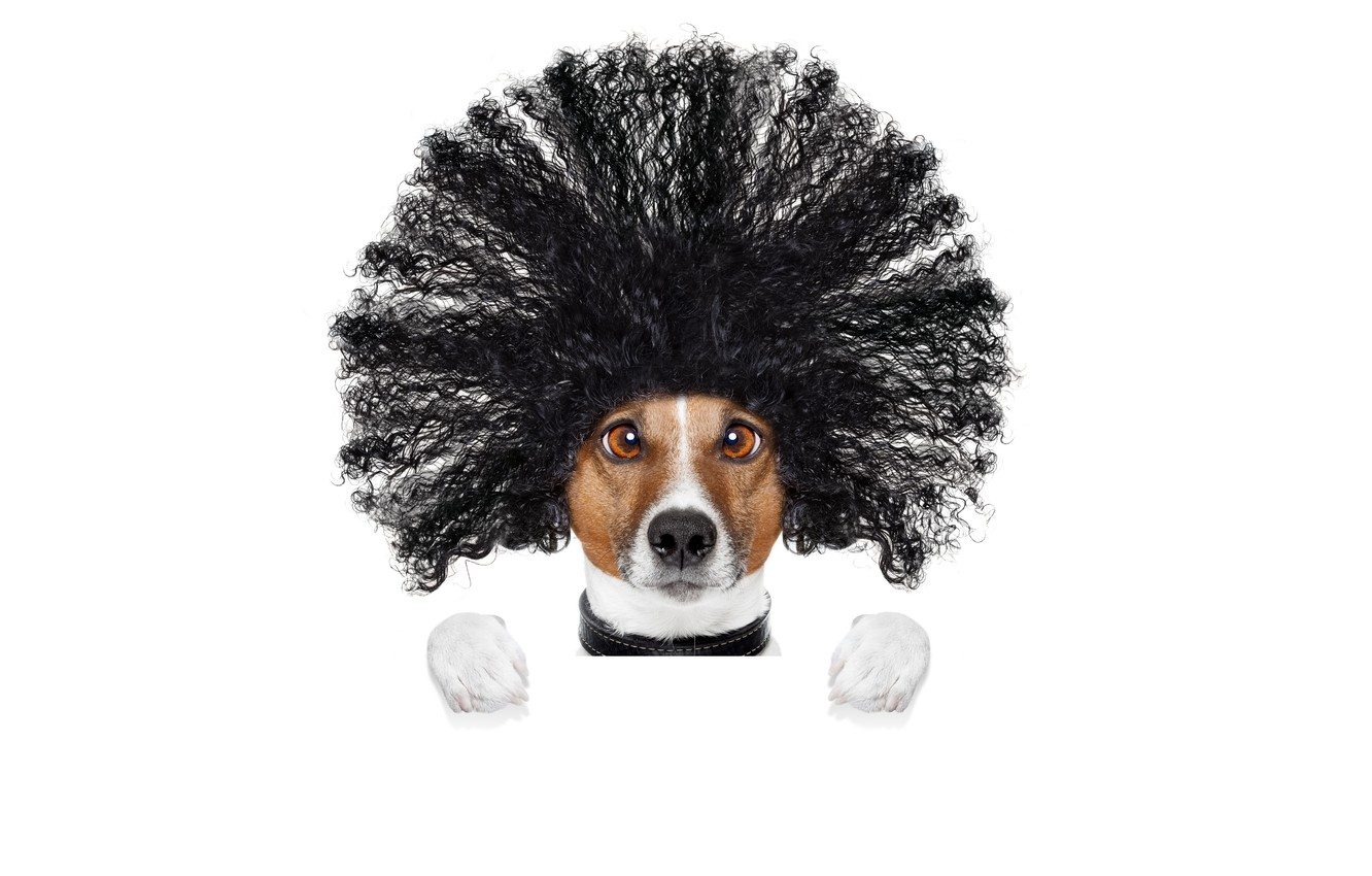 Photo wallpaper face, creative, hair, humor, paws, hairstyle, white background, Jack Russell Terrier
