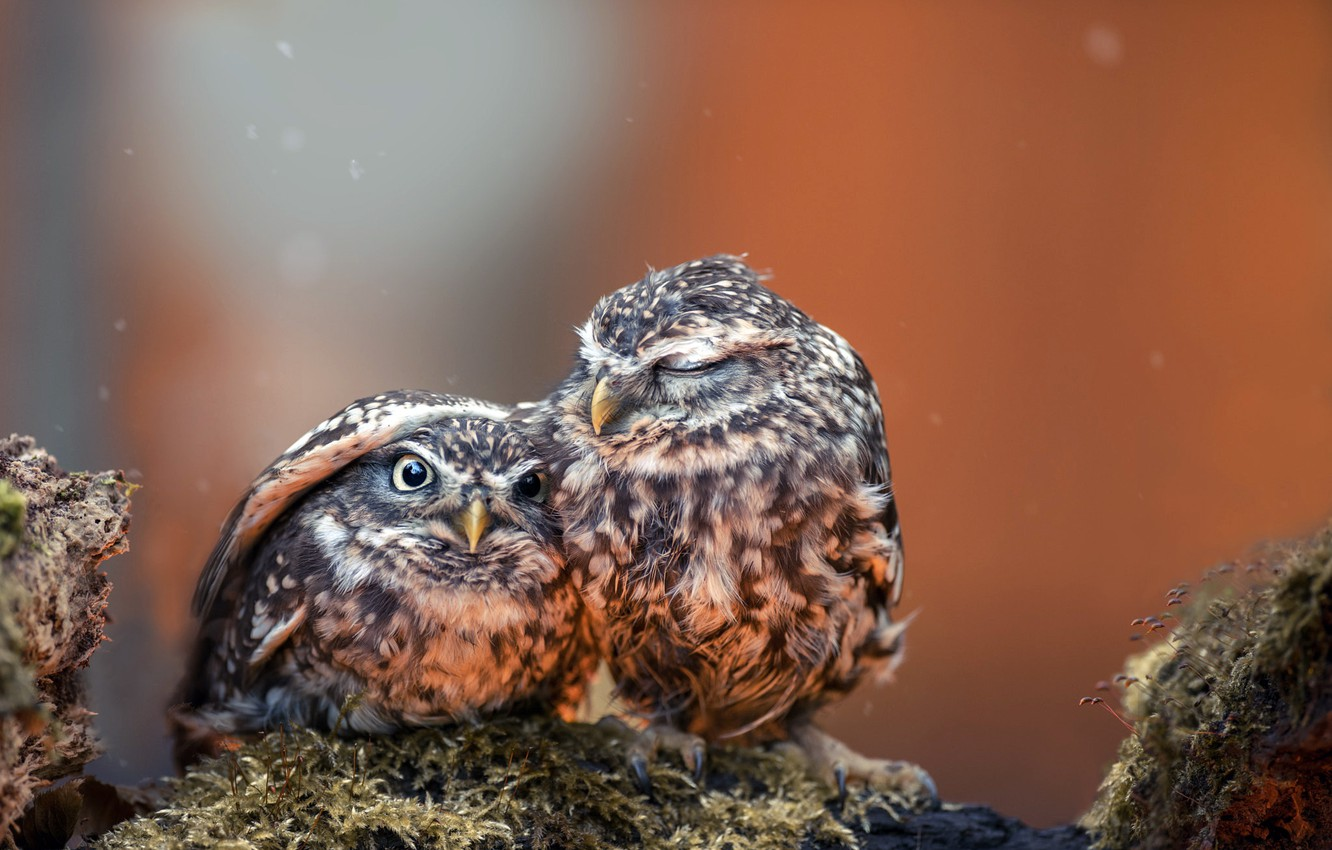 Photo wallpaper photography, animals, eyes, wings, feathers, birds, hug, situation, close up, protection, beak, chicks, Owls