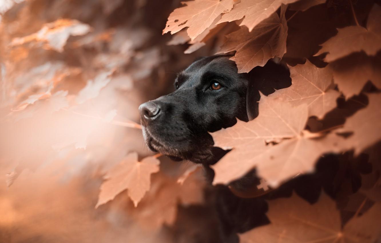 Photo wallpaper face, leaves, animal, dog, profile, maple, dog