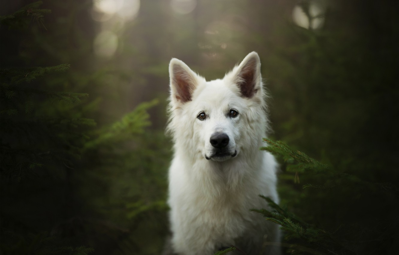 Photo wallpaper forest, look, face, dog, The white Swiss shepherd dog