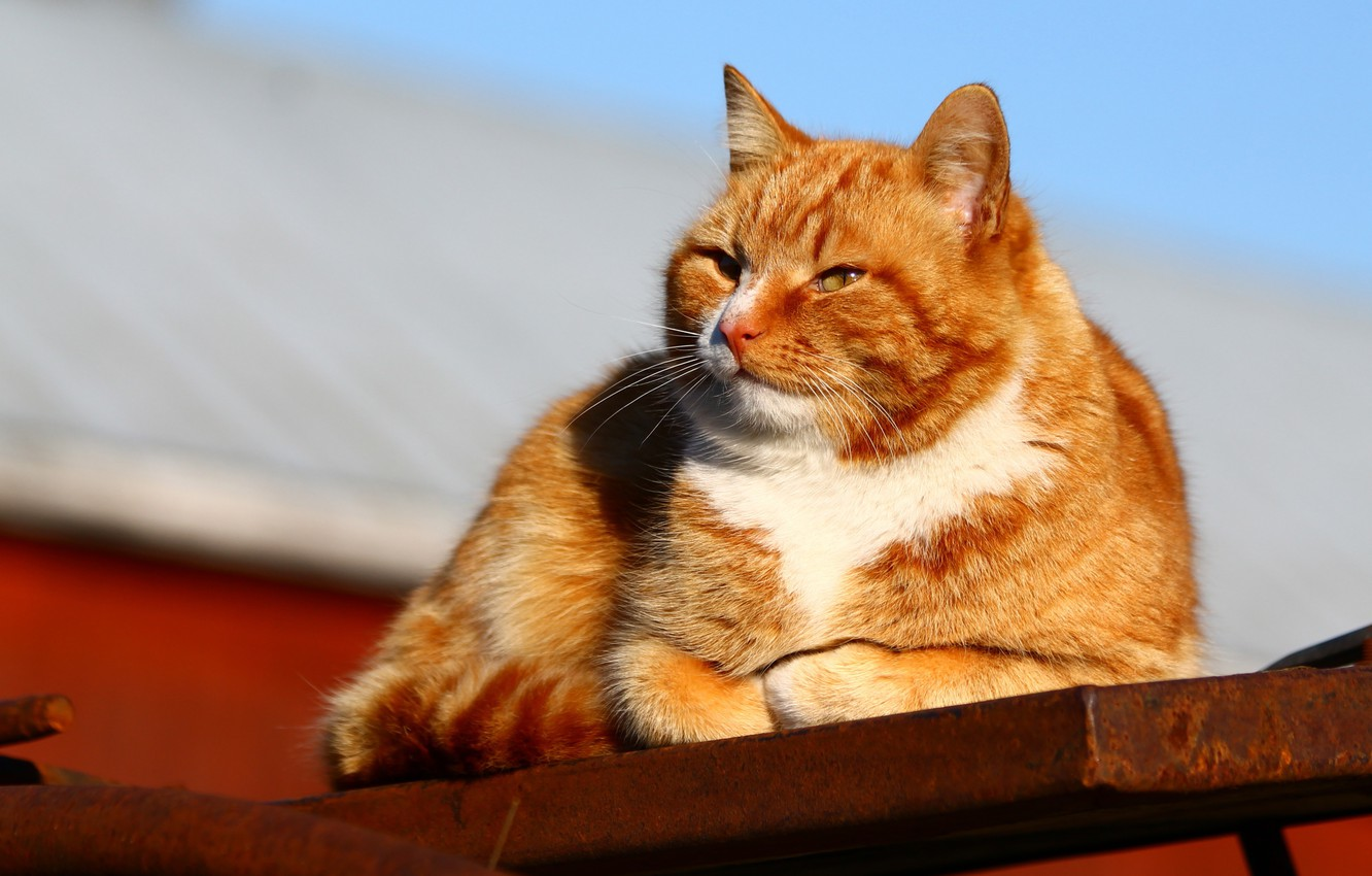 Photo wallpaper roof, cat, the sky, cat, face, light, blue, red, lies, red, Sunny