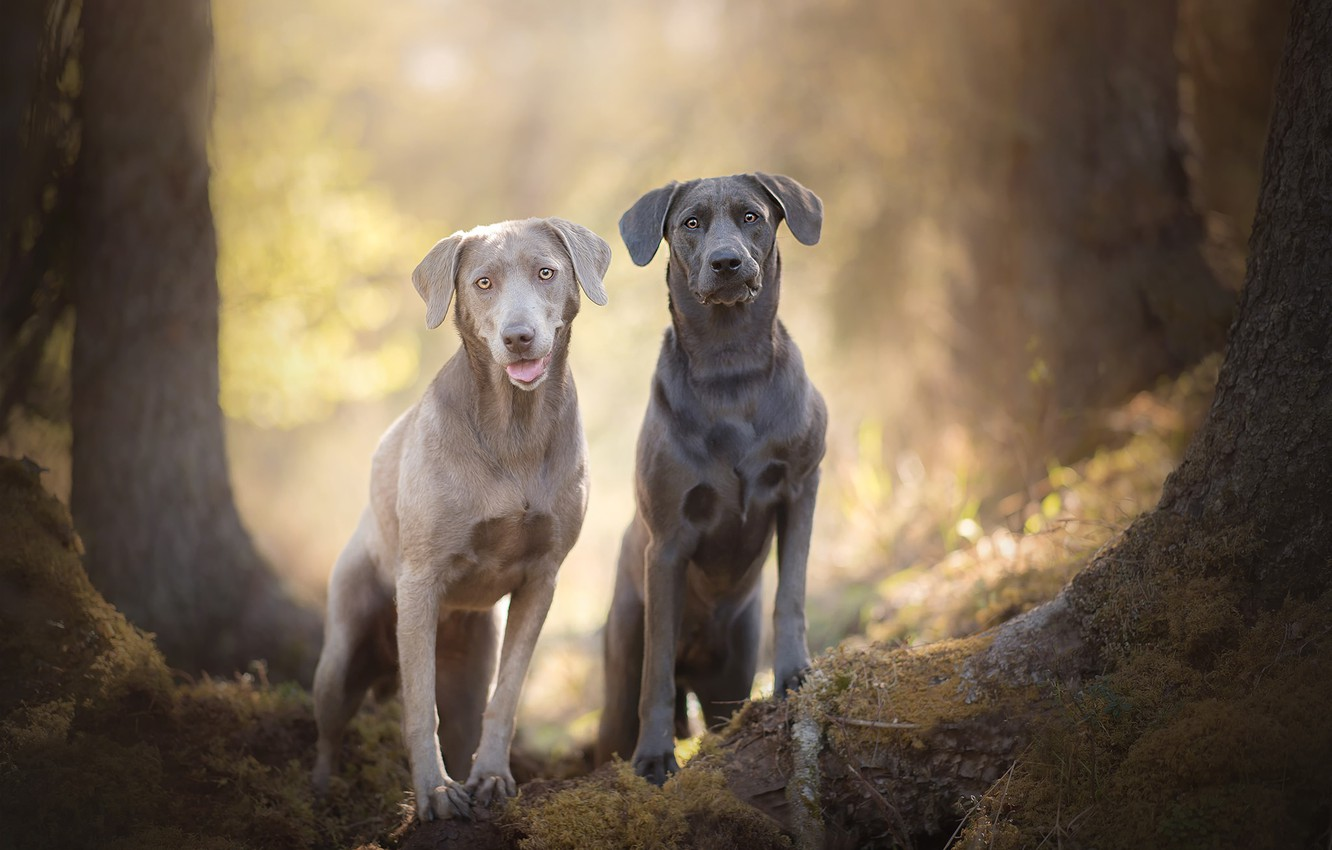 Photo wallpaper bokeh, two dogs, Silver Labradors