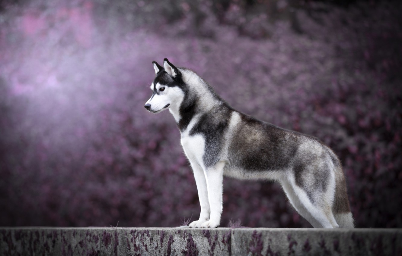 Photo wallpaper dog, husky, handsome