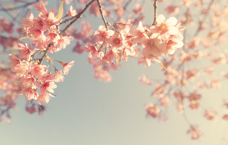 Photo wallpaper the sky, branches, spring, Sakura, flowering, vintage, pink, blossom, sakura, cherry, spring, bloom