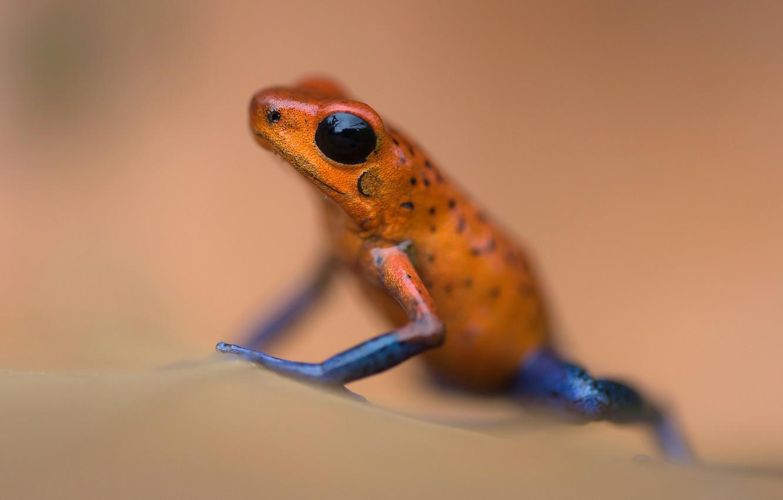 Photo wallpaper frog, amphibian, derewala small
