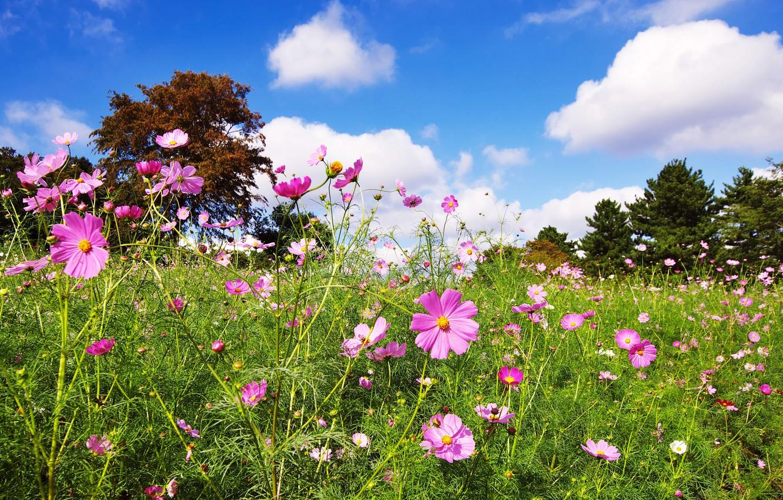 Photo wallpaper greens, field, summer, the sky, grass, the sun, clouds, trees, flowers, lawn, kosmeya