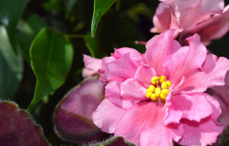Photo wallpaper flower, macro, plant, pink, widescreen, violet