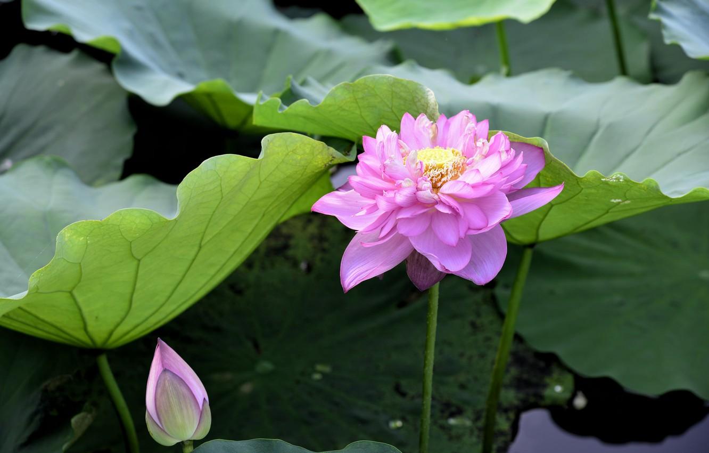 Photo wallpaper flower, petals, Lotus, flowering