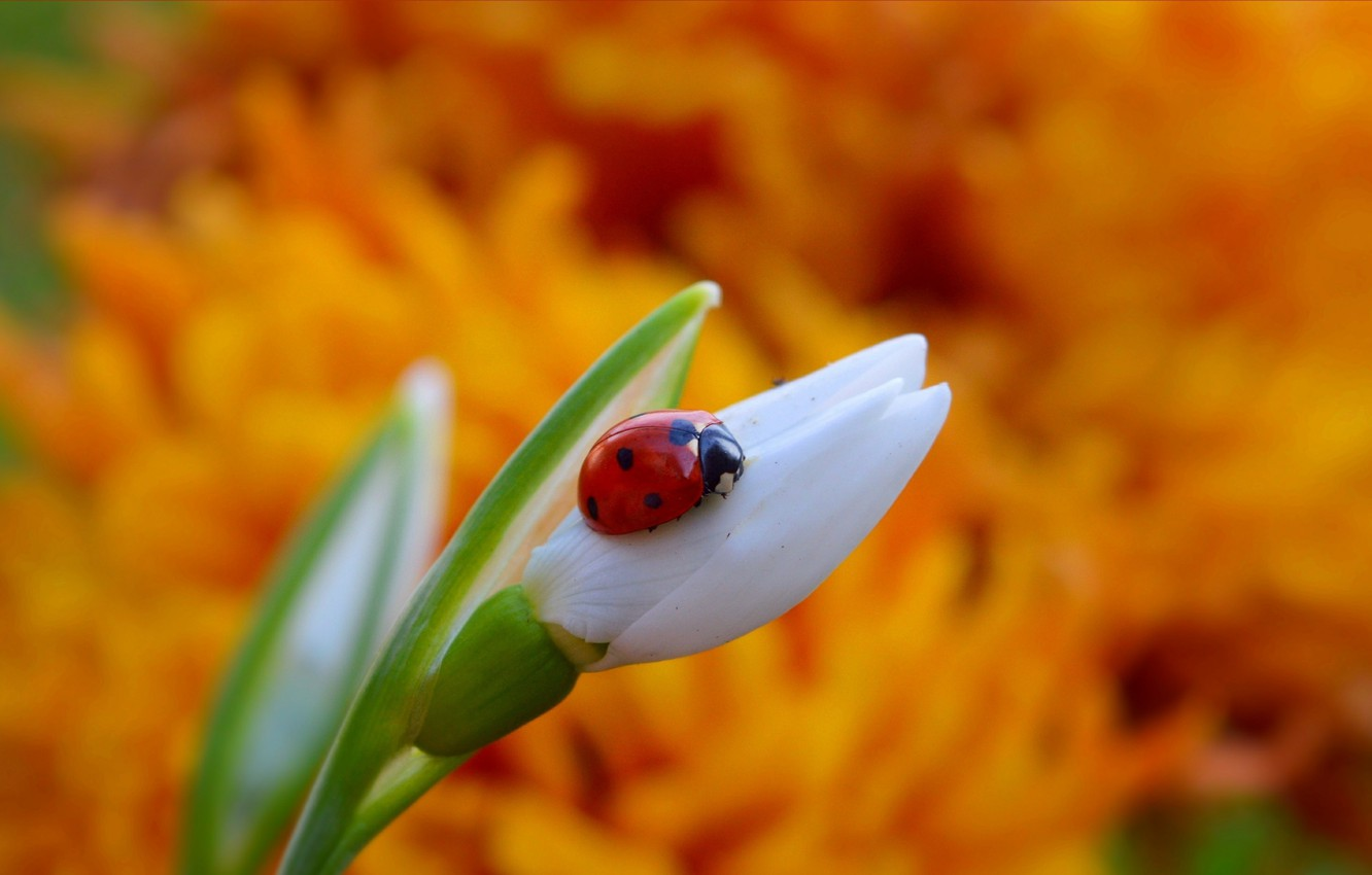 Photo wallpaper Ladybug, Snowdrop, Bokeh, Insect, Bokeh, Snowdrop
