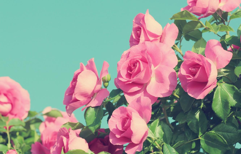 Photo wallpaper summer, flowers, Roses, flowering