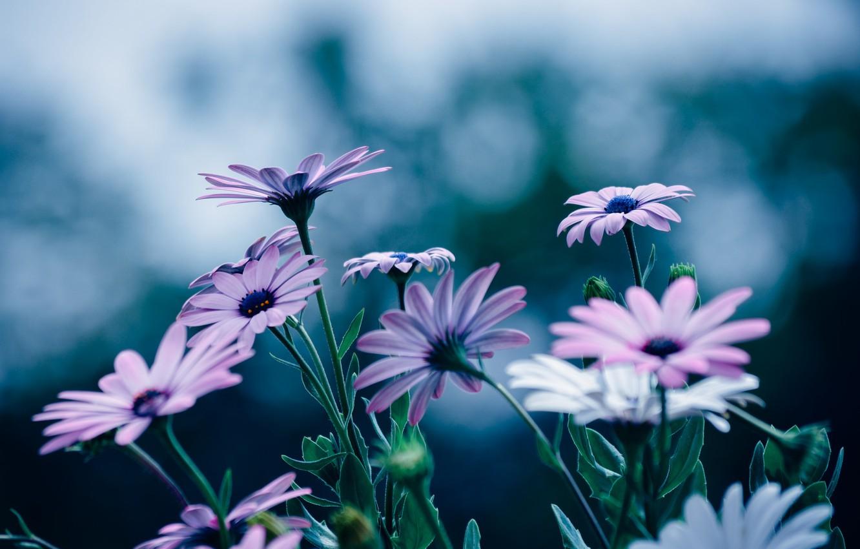 Photo wallpaper flowers, petals, a lot, Osteospermum