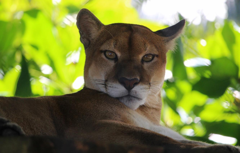 Photo wallpaper cat, look, background, Puma, Cougar