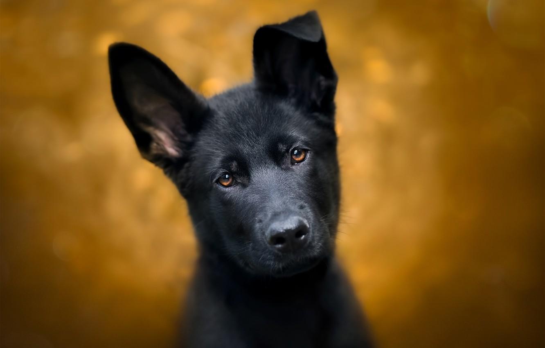 Photo wallpaper look, background, dog, puppy, ears, face, German shepherd
