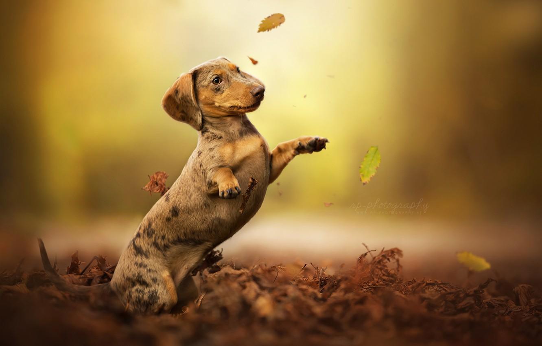 Photo wallpaper autumn, leaves, dog, stand, bokeh, Dachshund