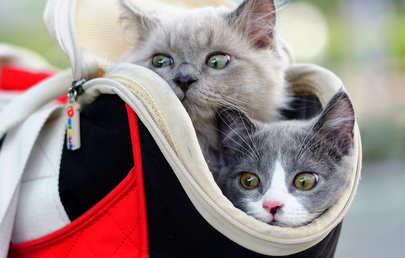 Photo wallpaper kittens, bag, kids, a couple, faces