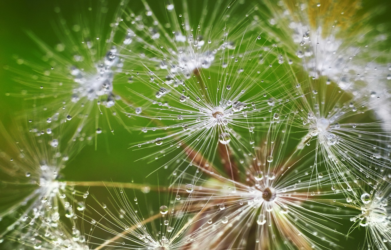 Photo wallpaper drops, dandelion, fluff