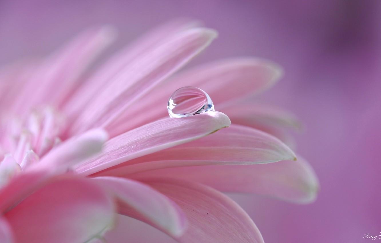 Photo wallpaper flower, pink, drop, petals