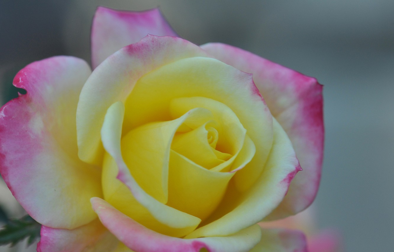 Photo wallpaper macro, rose, petals, Bud