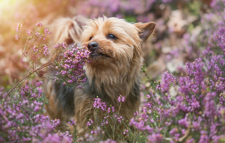Photo wallpaper dog, Yorkshire Terrier, York, Heather