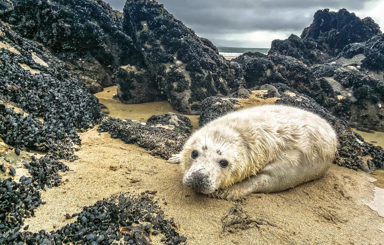 Photo wallpaper sand, sea, the sky, clouds, stones, rocks, shore, seal, shell, face, cub, wildlife, shellfish, seal