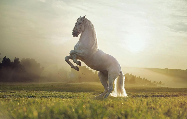 Photo wallpaper White, Field, Animal, Horse