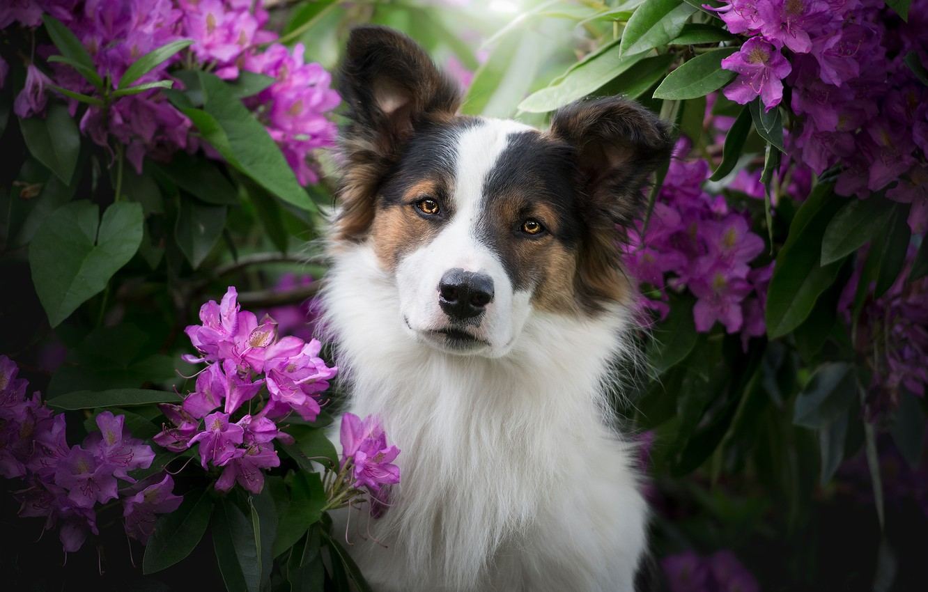 Photo wallpaper look, face, flowers, dog, The border collie, rhododendrons