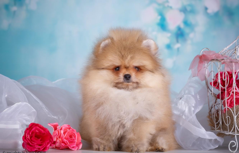 Photo wallpaper flowers, background, dog, cell, bokeh, Pomeranian, photo session