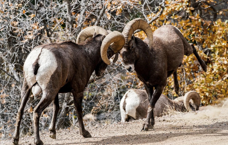 Photo wallpaper horns, clash, sheep
