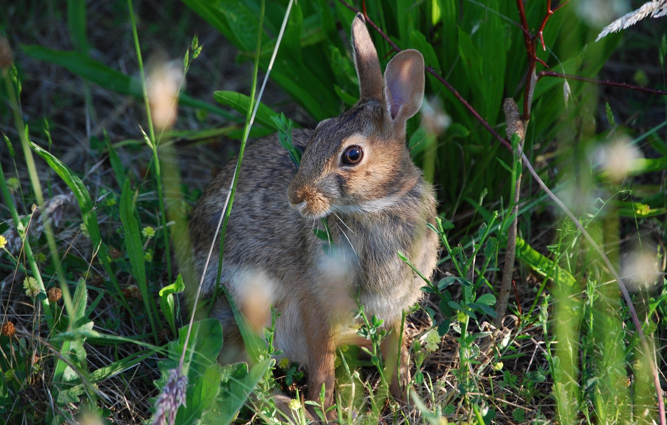 Photo wallpaper grass, hare, meadow, hare