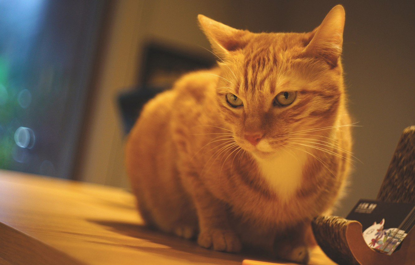 Photo wallpaper cat, cat, look, table, wall, window, red, sitting, the room, stand, sad