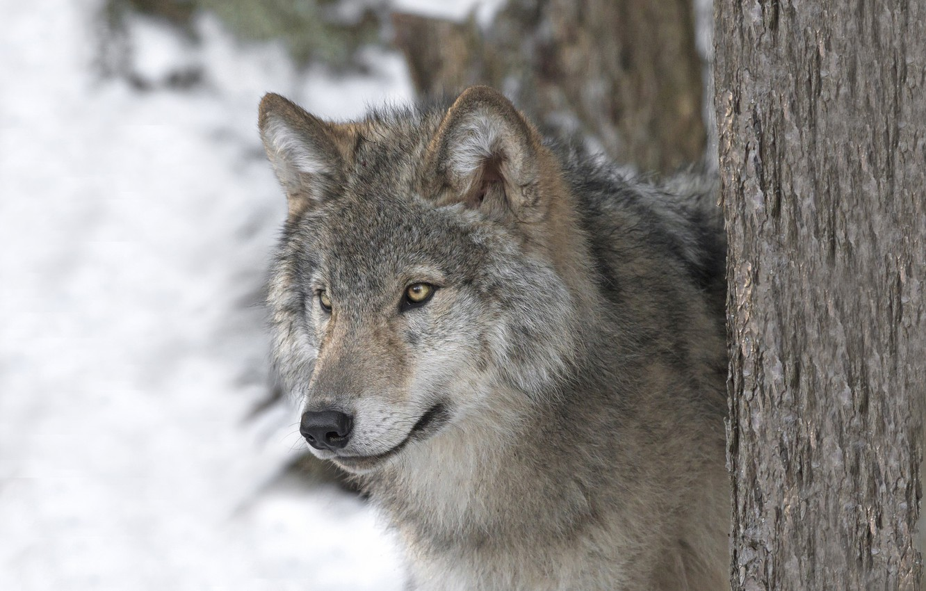 Photo wallpaper look, face, wolf, predator, the orderly forest