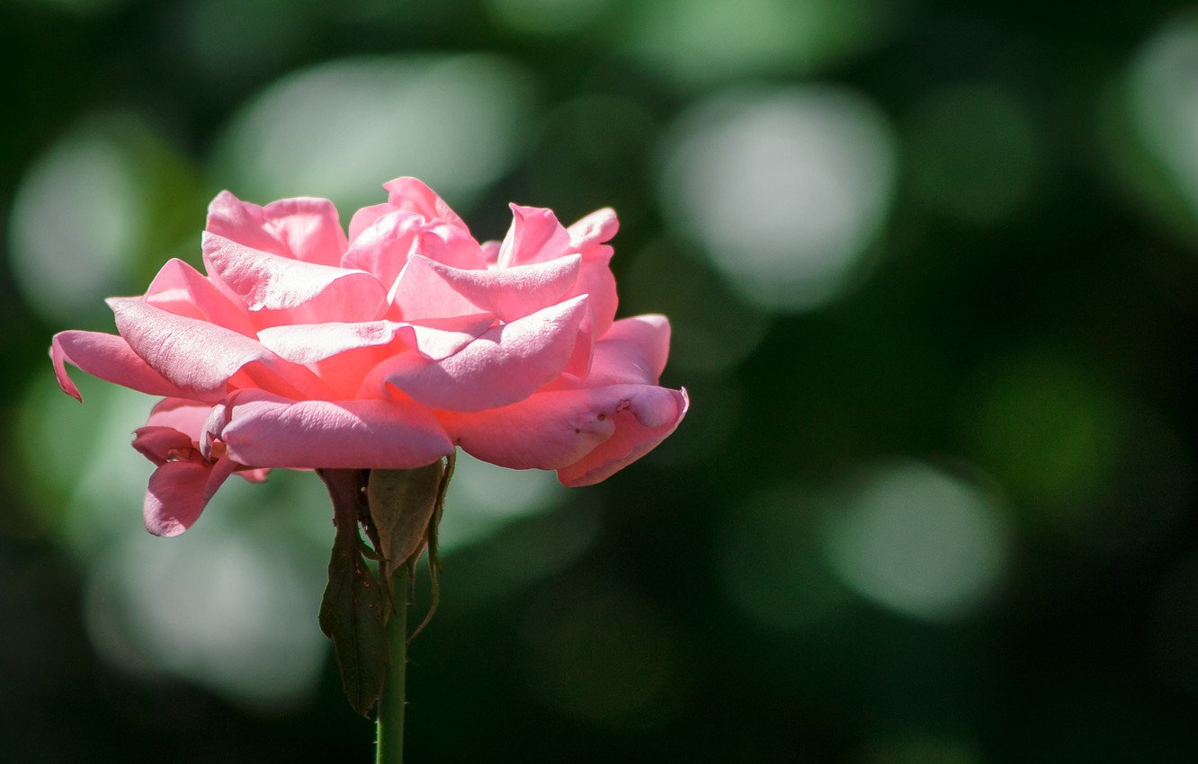 Photo wallpaper Bokeh, Bokeh, Pink rose, Pink rose