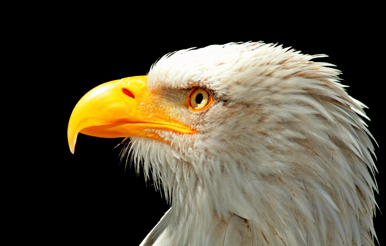 Photo wallpaper bird, head, beak, Eagle, USA, USA, Eagle, bird, Bald eagle