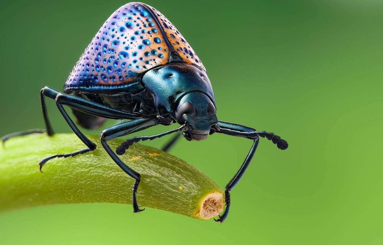 Photo wallpaper macro, beetle, beetle grebovic